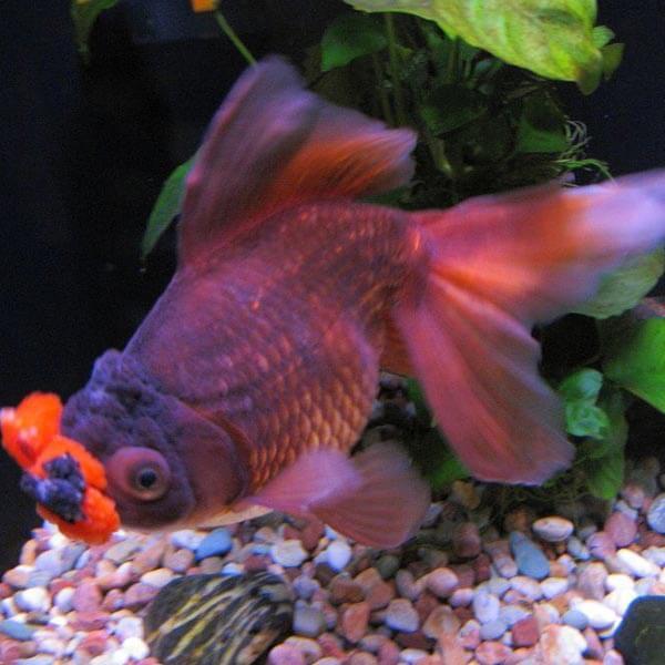pompoms goldfish